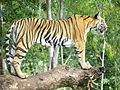 Save Tiger to Save Wildlife.jpg