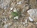 Saxifraga androsacea02.jpg