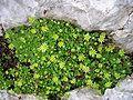 Saxifraga aphylla.jpg