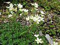 Saxifraga bronchialis subsp. funstonii var. rebunshirensis.JPG