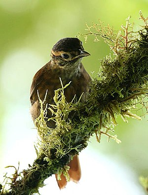 Ovenbird (family) - Scaly-throated foliage-gleaner (Anabacerthia variegaticeps)