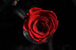 Scarlet rose.