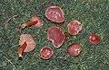 Scarlet wax cap, Hygrophorus coccineus, Tal y Garn, 1991 (31021769145).jpg