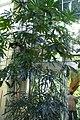Schefflera elegantissima 0zz.jpg