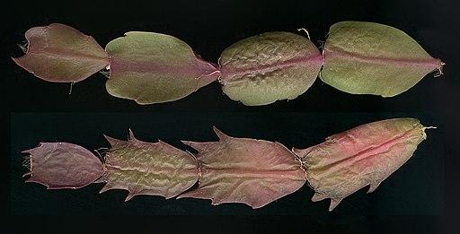 Schlumbergera cultivar stems