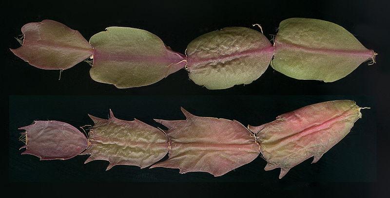 Fotografije kaktusa - Page 10 800px-Schlumbergera_cultivar_stems
