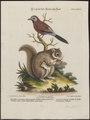 Sciurus volans - 1700-1880 - Print - Iconographia Zoologica - Special Collections University of Amsterdam - UBA01 IZ15900135.tif