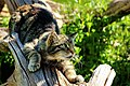 Scottish Wildcat - British Wildlife Centre (17079588810).jpg