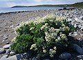 Sea-Kale - geograph.org.uk - 814303.jpg