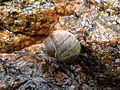 Sea snail, top, full view.jpg