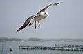 Seagull at Matsushima (松島) (3803214821).jpg