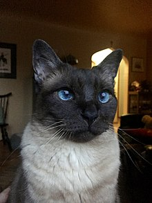 Seal point Siamese-Himalayan hybrid cat