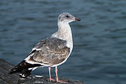 Second winter Western gull..jpg