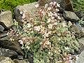 Sedum dasyphyllum (1) 5.JPG
