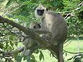 Semnopithecus priam (Anuradhapura) 08.JPG