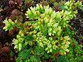 Sempervivum globiferum hirtum 01.JPG