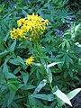 Senecio triangularis Taft Point (plant).jpg
