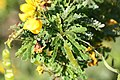 Senna polyphylla 27zz.jpg