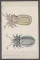 Sepia tuberculata - - Print - Iconographia Zoologica - Special Collections University of Amsterdam - UBAINV0274 090 07 0009.tif