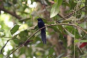 Seychelles Paradise Flycatcher, Terpsiphone corvina.jpg