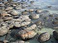Shark Bay stromatolites.jpg