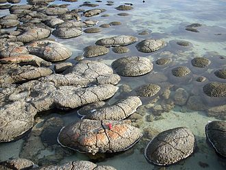Geobiology - Modern, living stromatolites in Shark Bay, Australia. Shark Bay is one of the few places in the world where stromatolites can be seen today, though they were likely common in ancient shallow seas before the rise of metazoan predators.