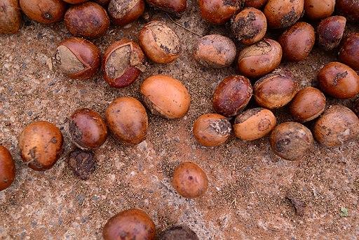 Shea Butter Seeds