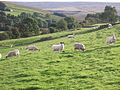 Sheep in the late afternoon sun, Knars Dale - geograph.org.uk - 556767.jpg