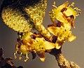 Shepherdia canadensis (7996249578).jpg