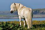 Shetland Pony (1).jpg