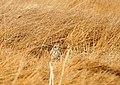 Short eared owl on Seedskadee National Wildlife Refuge (40638227671).jpg