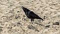 Shouting crow (14058941368).jpg