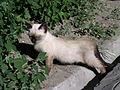 Siamese kitten-2.jpg