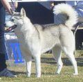 Siberian Husky Grey-White 2.JPG