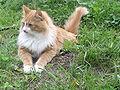 Siberian cat - Tofik.jpg