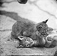 Siberische Lynxen in Artis, Bestanddeelnr 914-1201.jpg