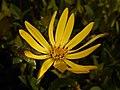 Silphium perfoliatum 2017-10-02 6895.jpg