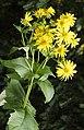 Silphium perfoliatum L. (8073317659).jpg