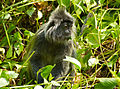 Silvered Leaf Monkey (Trachypithecus cristatus) eating leaves (15596272958).jpg