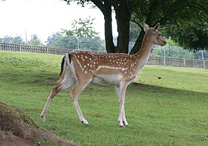 Fallow deer - Female (doe)