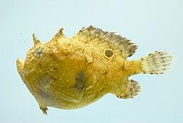 Singlespot frogfish ( Antennarius radiosus )