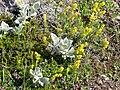 Skaftafell - Flora auf Skaftafellsheidi 1.jpg
