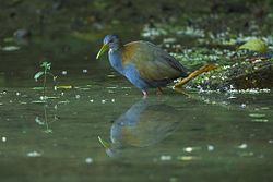 Slaty-breasted Wood-Rail - REGUA - Brazil S4E2151 (12901625524).jpg