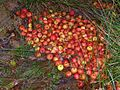 Small apples in a drainage ditch, Denny Lodge Inclosure, New Forest - geograph.org.uk - 267069.jpg