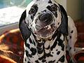 Smiling dalmatian.jpg