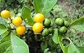 Solanum diphyllum 02.JPG