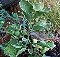Solanum nelsonii (5187953377).jpg