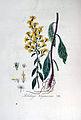 Solidago virgaurea — Flora Batava — Volume v5.jpg