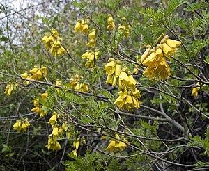 Sophora howinsula (Lord Howe kowhai) (5383204408).jpg