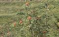 Sorbus aucuparia - Rowan 02.jpg